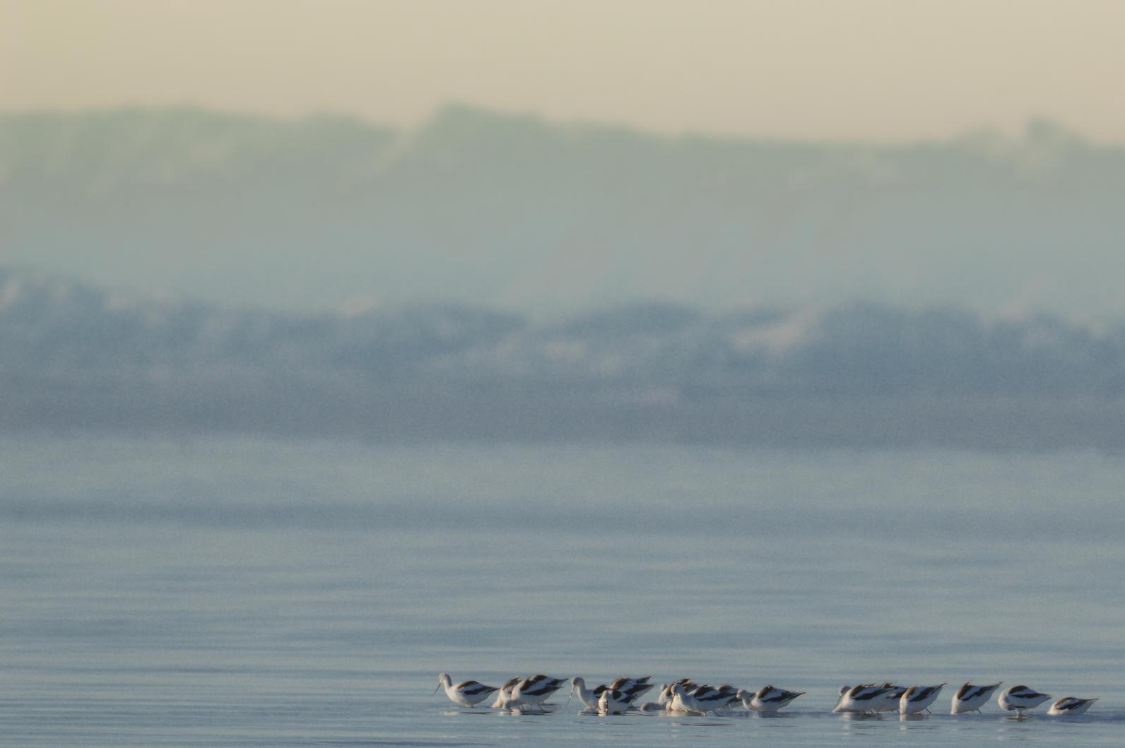 American Avocets at the Salton Sea