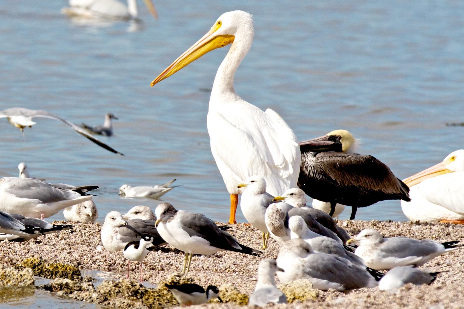 Salton Sea hosts a diversity of birds