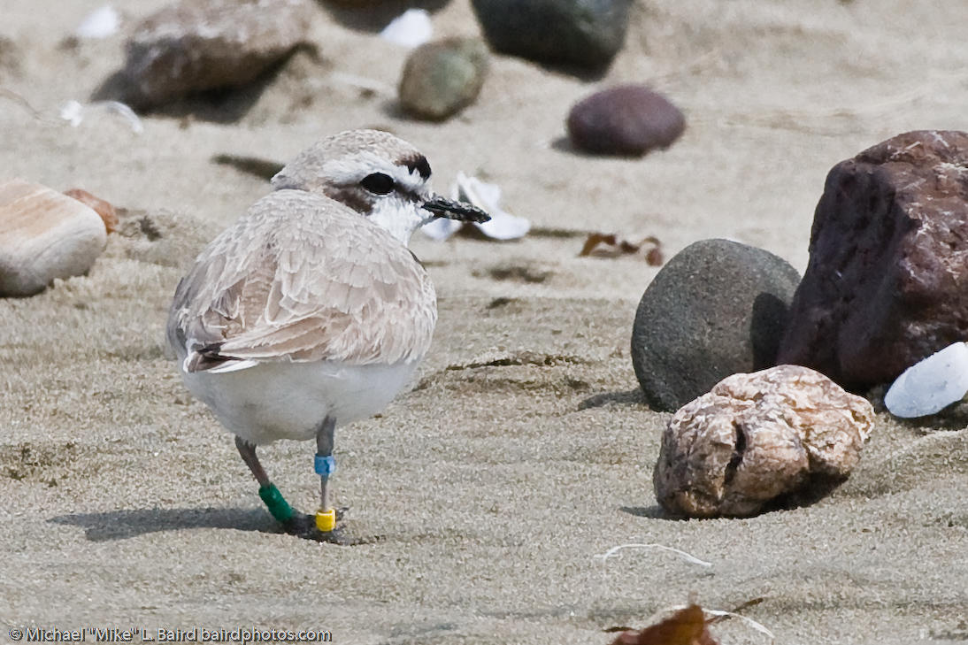 Banded Western Snowy Plover