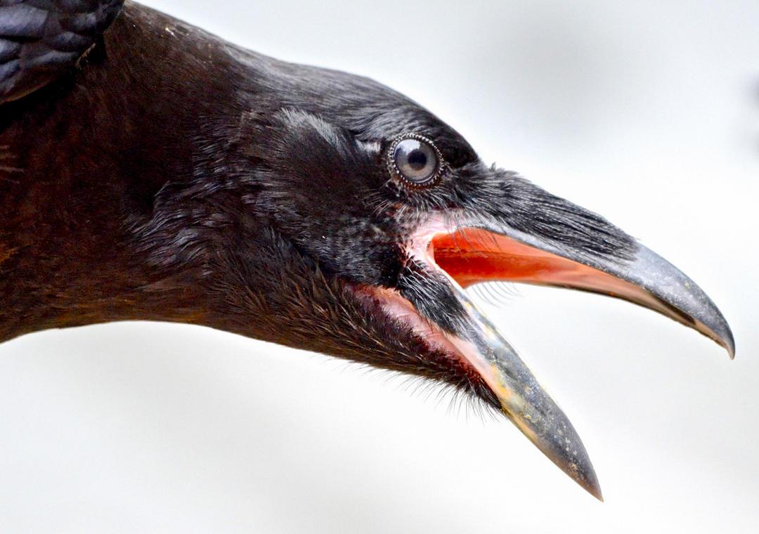 13 Bird Superstitions   Audubon California