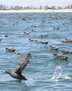 Our Seabirds and Important Seabird Areas | Audubon California